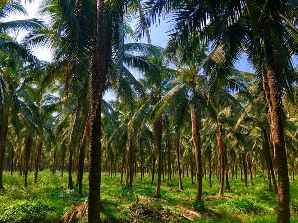 Taste Nirvana Coconut Tree Line