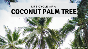 Blog Cover Image of Life cycle of a coconut palm tree