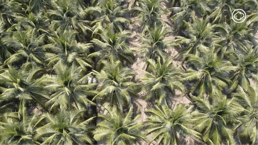 Thai Coconut Tree Video Back Ground